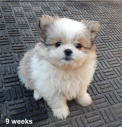 shih tzu mix pomeranian 17 best ideas about pomeranian mix on blue pomeranian pomeranian colors