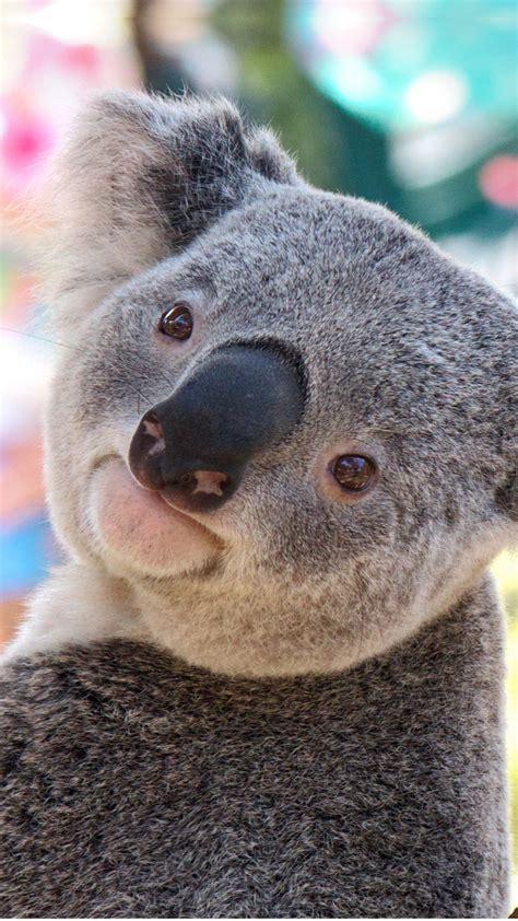 wallpaper iphone koala koala 2 wallpaper for iphone x 8 7 6 free download on
