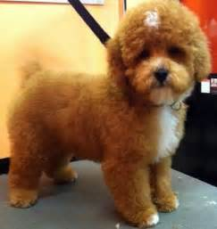 brown breeds 17 best images about breed finders on teddy dogs best breeds