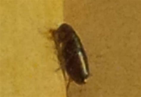 fleas on dog but not in house fleas archives what s that bug