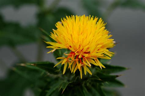 safflower carthamus tinctorius forage feedipedia