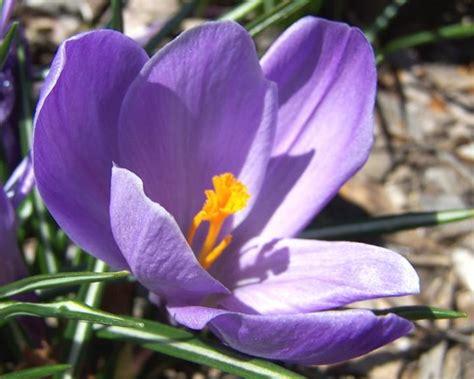 fiore crocus crocuses how to plant grow and care for crocus flowers