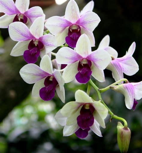 Wallpaper Bunga Anggrek Ungu | gambar bunga anggrek warna putih ungu pernik dunia