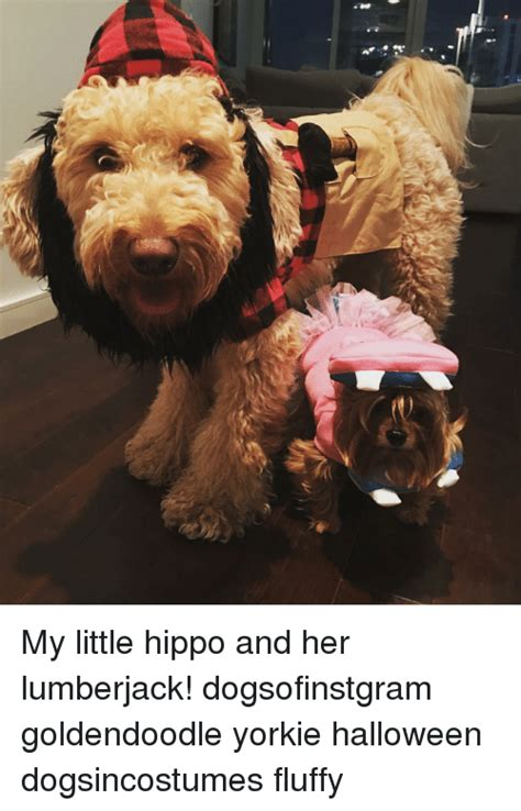 mini goldendoodle ta goldendoodle memes of 2017 on sizzle dogs