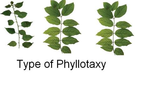 the pattern of leaf arrangement is called phyllotaxy biology