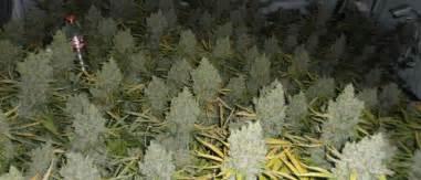 Marijuana Plant Diseases Pictures - how to grow gigantic marijuana buds the weed blog