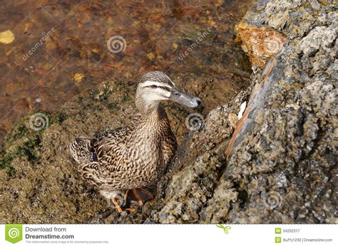 how to your to retrieve ducks lonesome duck royalty free stock photography image 34202317