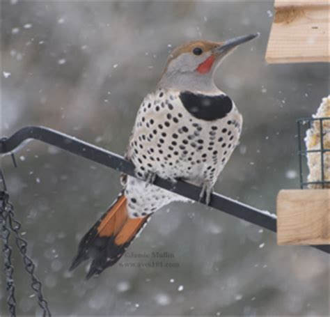 northern flicker facts behavior habitat song photos