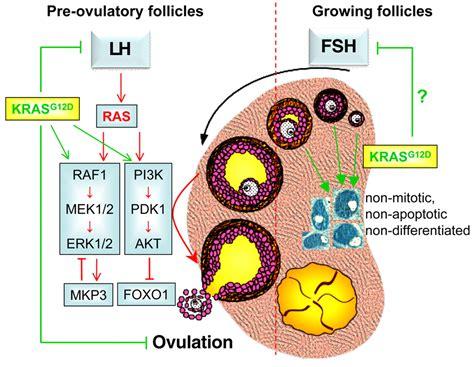 selective expression  krasgd  granulosa cells
