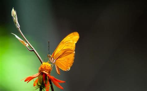 Live Butterfly Wallpaper For Windows 7 by Butterflies Live Wallpaper Moving Butterfly Apk
