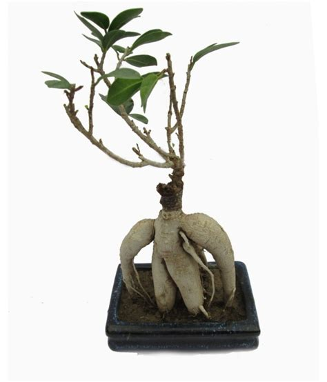 Instant Bonsai Just Remove Genes by A Bonsai Grafted Ficus Bonsai Plant 2 Years Buy A