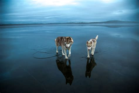 frozen dog wallpaper must see magical photos of siberian huskies playing on