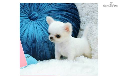 micro teacup chihuahua puppies for sale chihuahua puppy for sale near vancouver columbia b2321871 9241