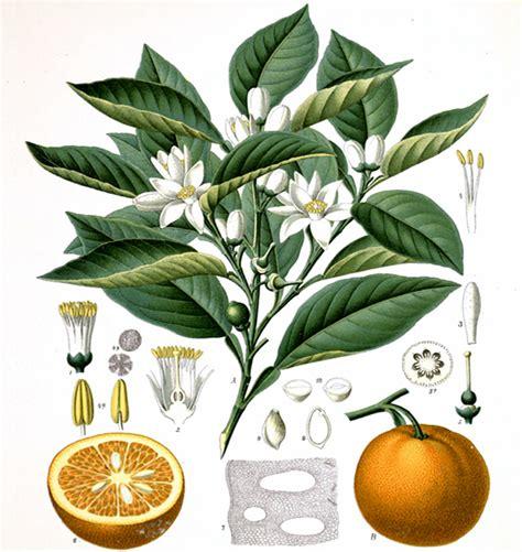 acqua fiori arancio la vera acqua di fiori d arancio per la pastiera il