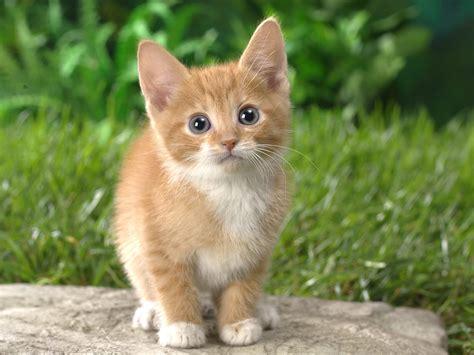 cat wallpaper graphic weni ru животные скачать обои котята и кошки котенок