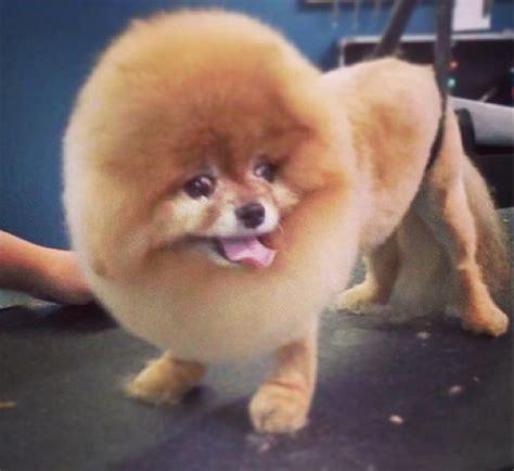 pomeranian like a pomeranian haircut like a