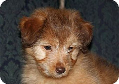 pomeranian mini poodle mix eddie adopted puppy west allis wi pomeranian miniature poodle mix