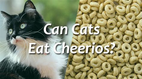 can dogs eat cheerios can cats eat cheetos pet consider
