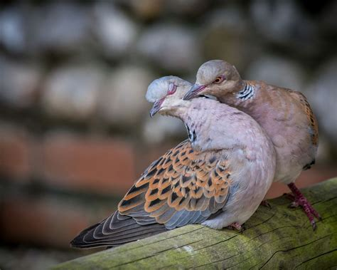 do house finches mate for life turtle doves 11 animals that mate for life mnn