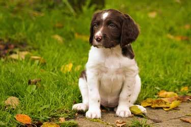 puppies for families family dogs are cocker spaniels dogs for children