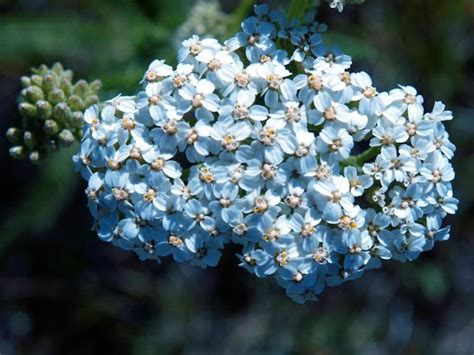 blue yarrow organic essential 2 the best herbs for clear skin well