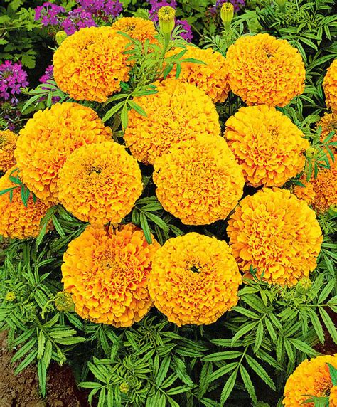 marigolds shade buy flower seed now marigolds golden age bakker com