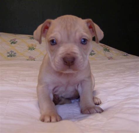 pitbull puppies for sale in ta nose pitbull www imgkid the image kid has it