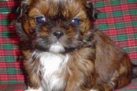 shih tzu nyc shih tzus puppies for sale in westchester new york