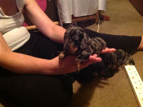 haired dapple dachshund puppies for sale 404 page not found