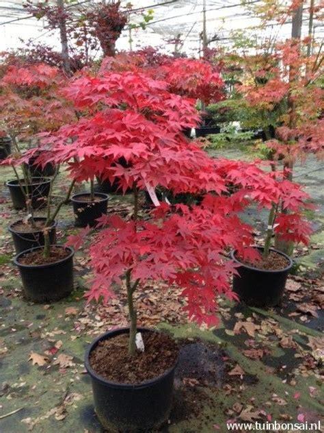 japanse tuin planten kopen 17 beste idee 235 n over balkon planten op pinterest