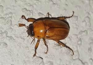 free photo june bug beetle insect bug free image on