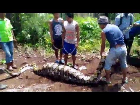 film ular raksasa youtube heboh ular raksasa di selamatkan oleh warga inhu youtube