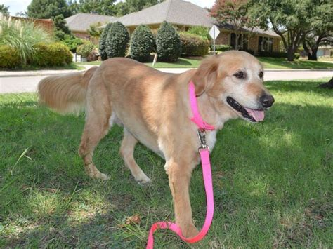 golden retriever rescue tx 91 best images about 2014 adopted on adoption born in february and golden retriever rescue