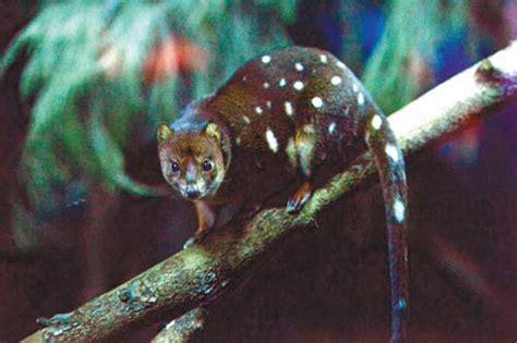 spotted quoll    taronga zoo  sydney  wednesday small furry marsupials