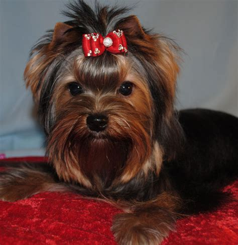 yorkie studs terrier breeders yorkie show and puppy news