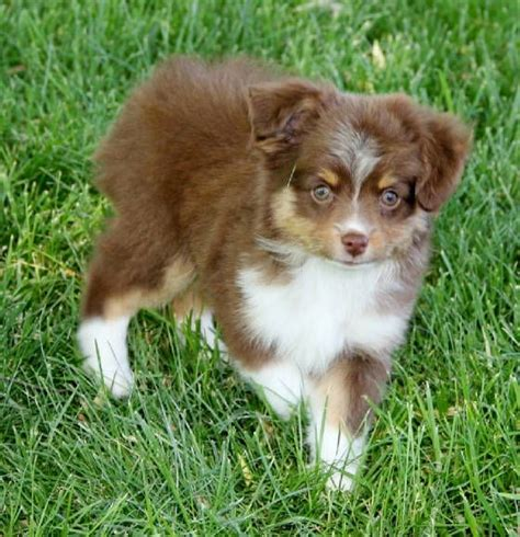 mini aussie puppies for sale in california 25 best ideas about aussie puppies for sale on mini aussie for sale