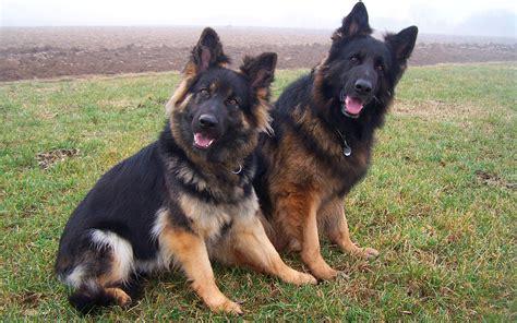 german shepherd puppies for free german shepherd best hd wallpapers hd wallapers for free