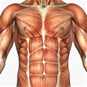 Musculature of the chest and abdomen l bucklin licensed to about