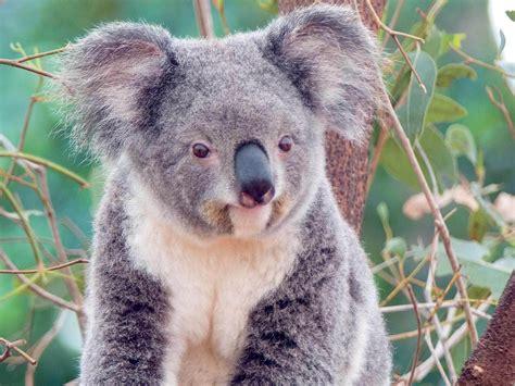 animal pictures koala animals wallpaper 13168798 fanpop