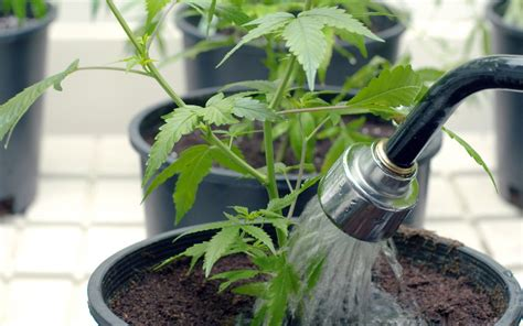 tips for watering your cannabis plants effectively leafly