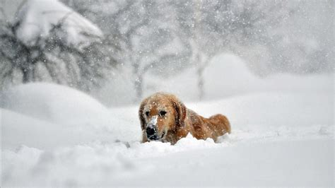 southern golden retrievers golden retrievers in the snow southern living