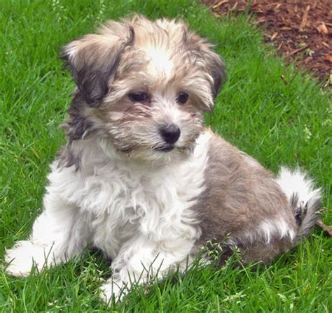 havanese grown the gallery for gt black and white havanese grown