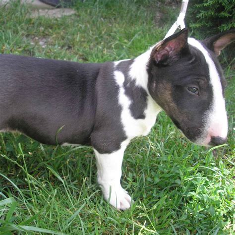 dogs 101 pitbull dogs 101 american pit bull animal planet breeds picture breeds picture