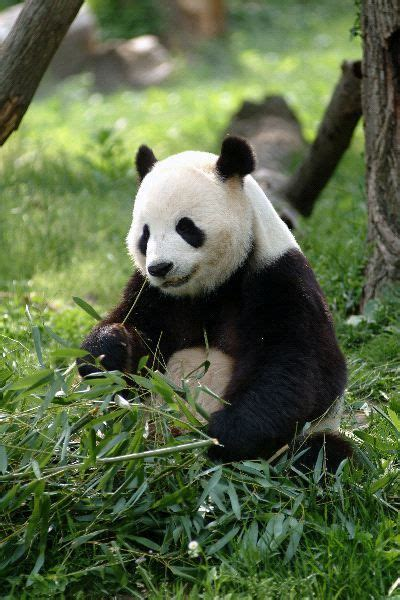 panda bear panda bear 0805080783 panda bears