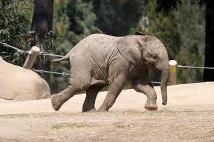 Baby Elephant Running | Erin | Flickr
