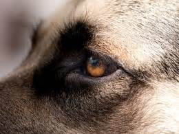 how many eyelids do dogs eye in the what causes it and what can be done about it pets4homes