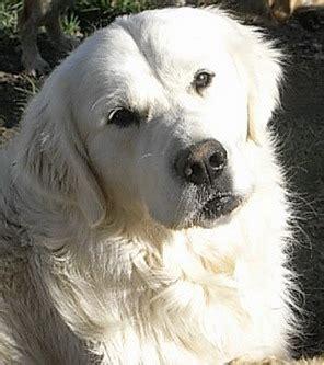 golden retriever breeders colorado springs chien elevage de la combe berail eleveur de chiens golden retriever