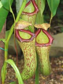 pitcher plant care growing different types of pitcher plants