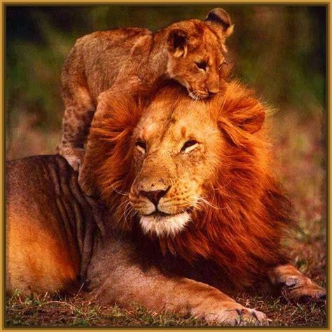 imagenes de leones lindas imagenes de leones con frases bonitas archivos imagenes