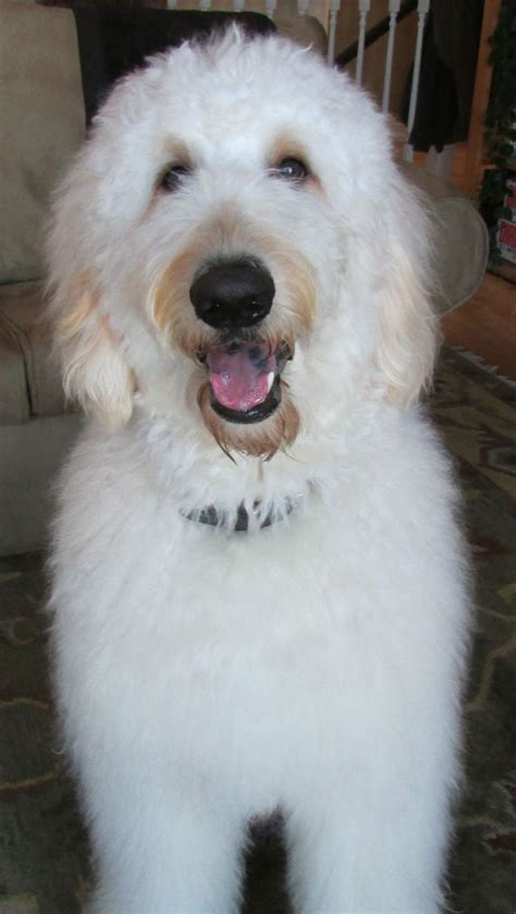 why is my goldendoodles hair short 13 best images about doodles on pinterest